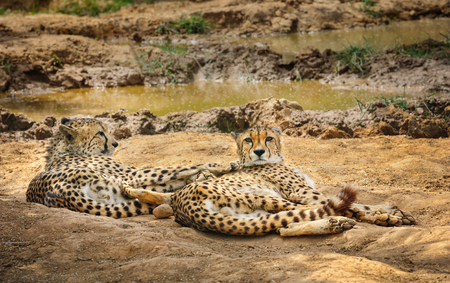 gepard: Two adult cheetah gepard lying on ground in zoo