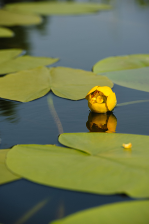 garden pond: Beautiful yellow water lily in garden pond, selective focus