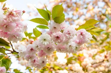 Sakura cherry blossom branch in the sunset rays Stok Fotoğraf