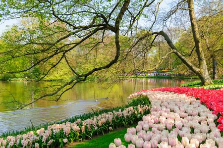 Tulip park in Netherlands Stok Fotoğraf