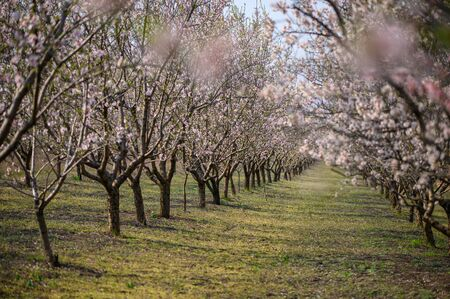 Alleys of blooming almond tree branches with pink flowers at the garden during springtime in Moldova, Eastern Europe 免版税图像