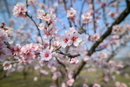 Close-up of blooming almond tree branches with pink flowers during springtime