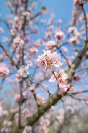 Closeup of blooming almond tree pink flowers during springtime