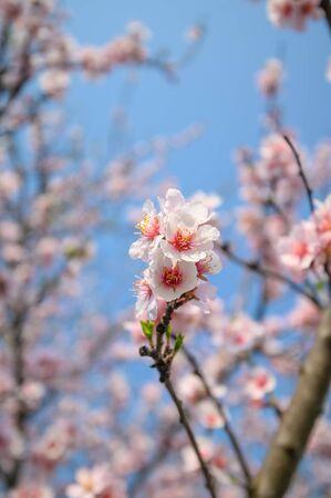 Macro closeup of blooming almond tree pink flowers during springtime Foto de archivo