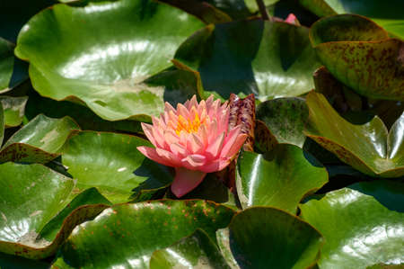 Red water lily AKA Nymphaea alba f. rosea in a lake Banque d'images