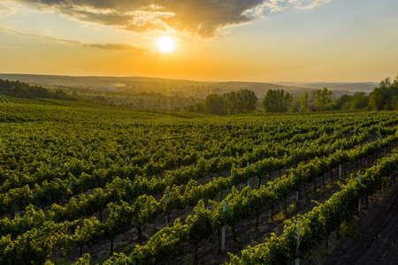 Beautiful sunset over green hills with cultivated vines, Cricova, Moldova Standard-Bild