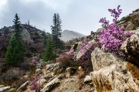 ulagan: Rhododendron blossom in Altay in early spring