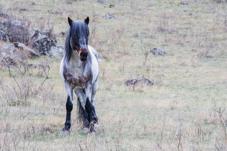 breeding: Horses breeding in Altai steppe in the early morning