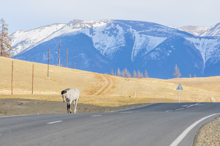 striding: Horses striding in Altai steppe in early spring