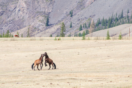 stride: Horses playing bridal game in Altai steppe Stock Photo
