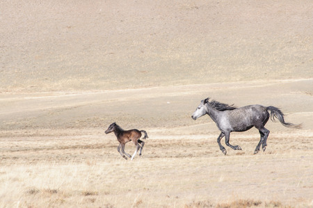 steed: Horses galloping in Altai steppe in early spring Stock Photo