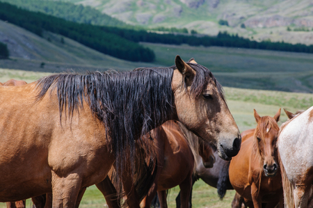 A small herd of horses in corral in Altai rural region