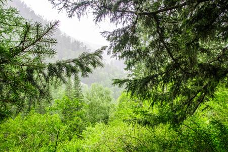 Scenics of wild forest - taiga - in Siberia Stock Photo