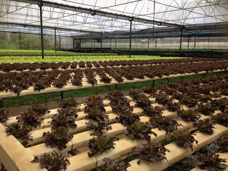 organics: Red oak, green oak, hydroponics vegetable in farm   Stock Photo