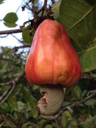 up: Closed up Cashew nut