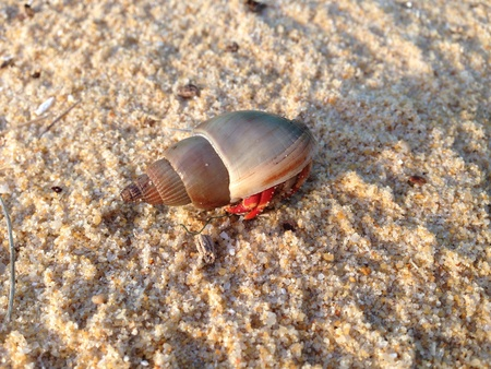cancer foot: Hermit crab on the beach