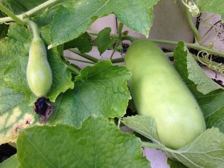 detail: Two size of winter melon
