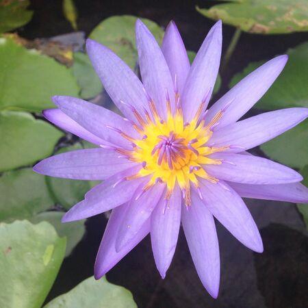 blooming purple: Blooming purple lotus