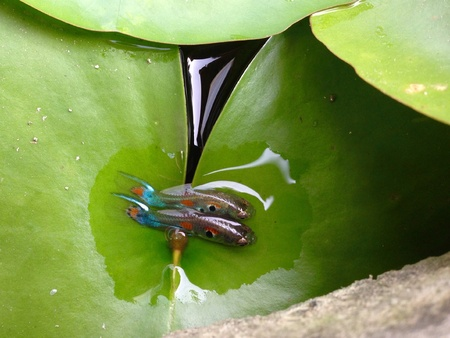 double sink: Couple Guppy fishs on lotus leaf Stock Photo