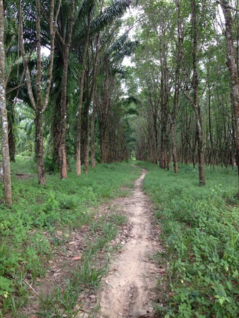 industrial: Walkway in rubber gardent, south of thailand