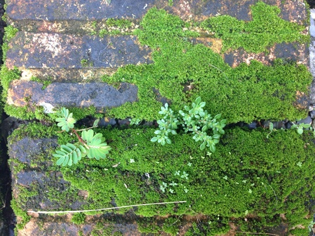 Green moss cover on old brick