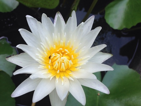 White lotus with bug Archivio Fotografico