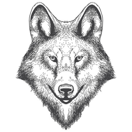 Illustration of wolf head drawning. illustration