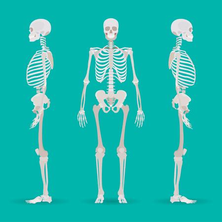 human hand: Skeleton human anatomy side. Medical illustration. Vector illustration