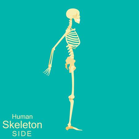 Skeleton human anatomy side. Medical illustration. Vector illustration