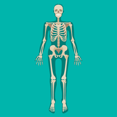 Skeleton human anatomy. Medical illustration. Vector illustration