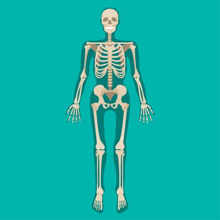 Skeleton human anatomy. Medical illustration. Vector illustration