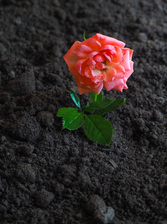 Blooming rose on fertile land. The concept of growth and prosperity Banco de Imagens