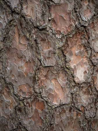 The texture of the tree bark. Pine bark background Stock Photo