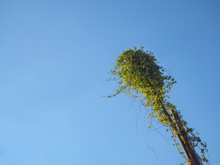 Street lamp entwined with a vine against the blue sky