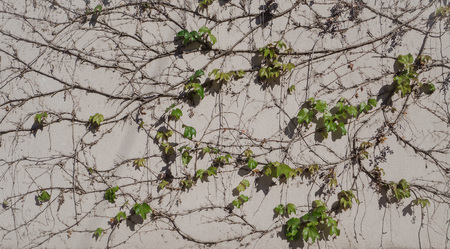Wild grapes on the wall. Natural background with vine