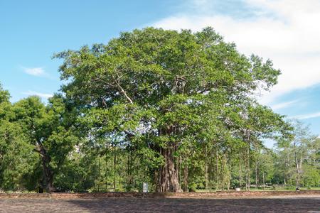 Buddhist Bodhi tree (Ficus religiosa). Sri Lanka