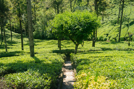 Tea plantation in Sri Lanka. Tea growing on an industrial scale