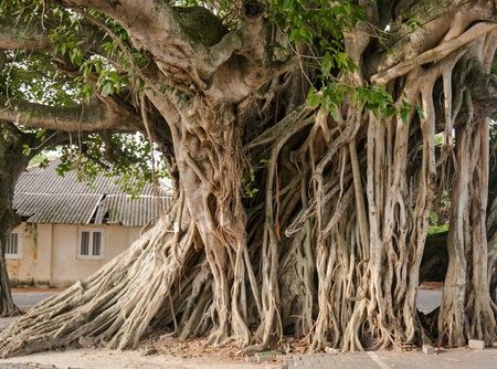 Large Banyan tree roots in the city