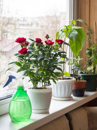 Floricultura de interior. Rocíe en la ventana con macetas de flores. Foto de archivo
