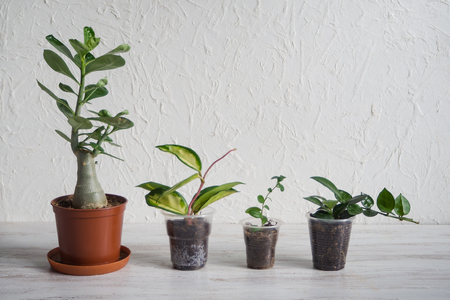 Adenium, Hoya and Myrsina seedling in the pot on the table. The breeding of indoor plants.