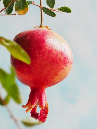 Ripening pomegranate on a branch on a blue background.