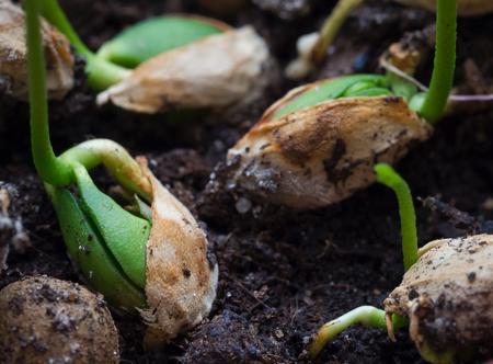 Keimende Samen. Junge Triebe von Pflanzen. Nahansicht.