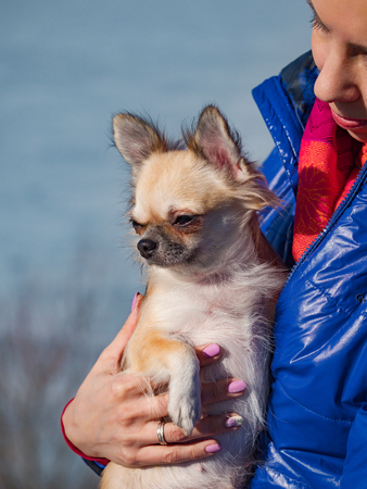 Homely relax. Small Chihuahua dog in sits in woman hands. Forever together. Foto de archivo