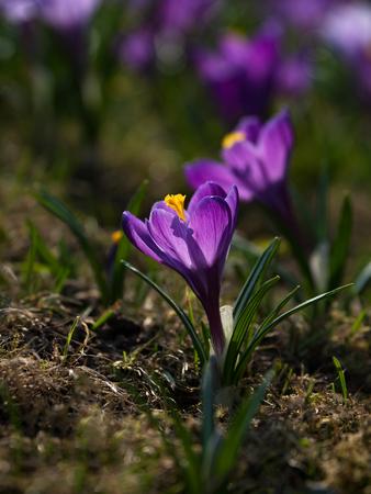 Purple Crocus flowers on the sunny lawn. Close up Reklamní fotografie