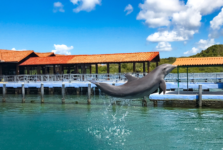 Dolphin jumps out of the water in the Dolphinarium. Entertainment for tourists in the Caribbean sea.