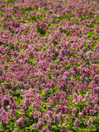 Purple flower of Hollowroot. Carpet of pink flowers. Landscape design.