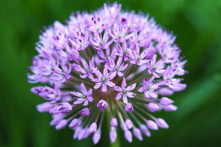 Close up of the blooming purple ornamental onion (Allium hollandicum).
