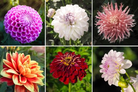 Collage from different pictures of autumn flowers dahlias. Archivio Fotografico