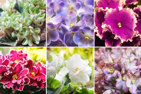Collage from different pictures of varietal violets.