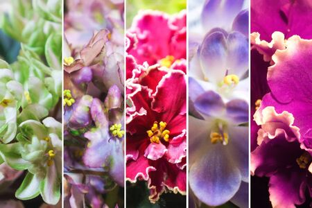 Collage from different pictures of varietal violets (Saintpaulia).